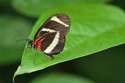 A Hewitson's Longwing Butterfly, Heliconius Hewitsoni-Vickie Lewis-Photographic Print
