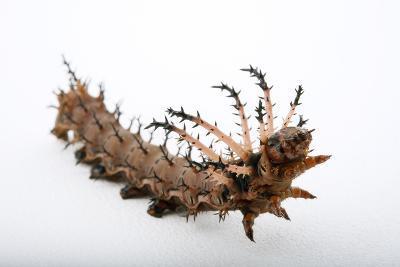 A Hickory Horned Devil Caterpillar-Joel Sartore-Photographic Print