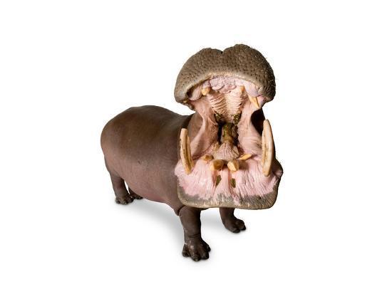 A Hippo, Hippopotamus Amphibius-Joel Sartore-Photographic Print