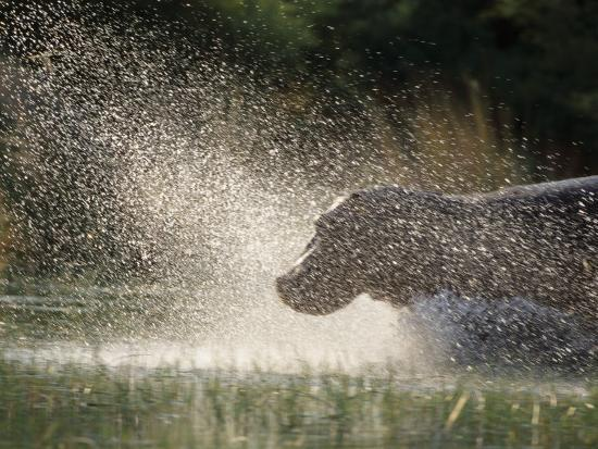 A Hippo Splashes into the Water-Nicole Duplaix-Photographic Print