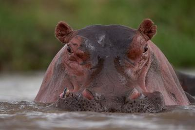 A Hippopotamus Partially Submerged in the Mara River-Michael Nichols-Framed Photographic Print