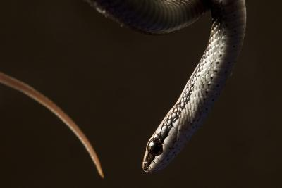A Hispaniola Lesser Racer Snake, Hypsirhynchus Parvifrons-Robin Moore-Photographic Print