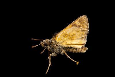 A Hobomok Skipper Butterfly, Poanes Hobomok, from a Prairie Near Cross Lake, Minnesota-Joel Sartore-Photographic Print