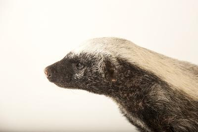 A Honey Badger, Mellivora Capensis, at the Fort Wayne Children's Zoo-Joel Sartore-Photographic Print