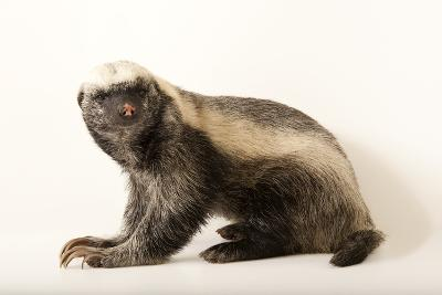 A Honey Badger, Mellivora Capensis, at the Fort Wayne Children's Zoo-Joel Sartore-Photographic Print