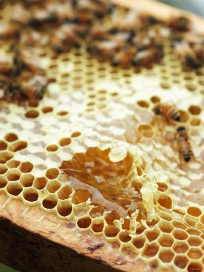 A Honeycomb with Bees-Matilda Lindeblad-Photographic Print