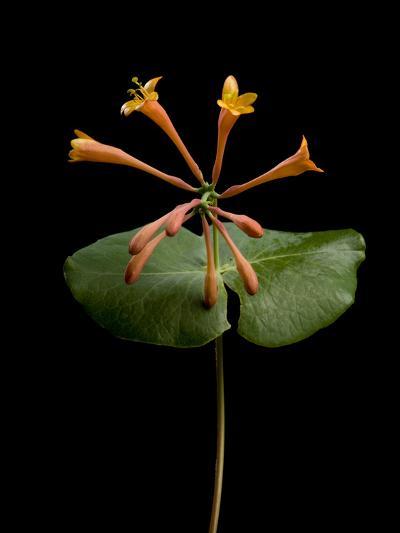 A Honeysuckle Plant, Lonicera Caprifolium-Joel Sartore-Photographic Print