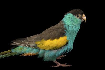 A Hooded Parakeet, Psephotus Dissimilis, at Sylvan Heights Bird Park-Joel Sartore-Photographic Print