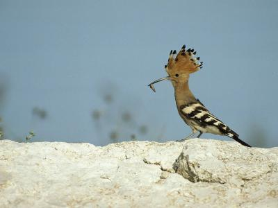 A Hoopoe Carries an Insect in its Mouth-Klaus Nigge-Photographic Print