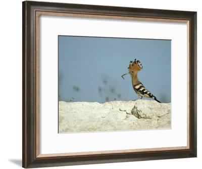 A Hoopoe Carries an Insect in its Mouth-Klaus Nigge-Framed Photographic Print
