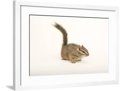 A Hopi Chipmunk, Neotamias Rufus, at the Wildlife Rehabilitation Center of Northern Utah.-Joel Sartore-Framed Photographic Print