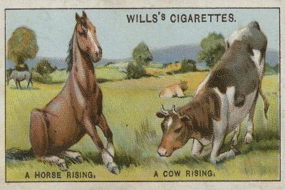 A Horse Rising and a Cow Rising--Giclee Print