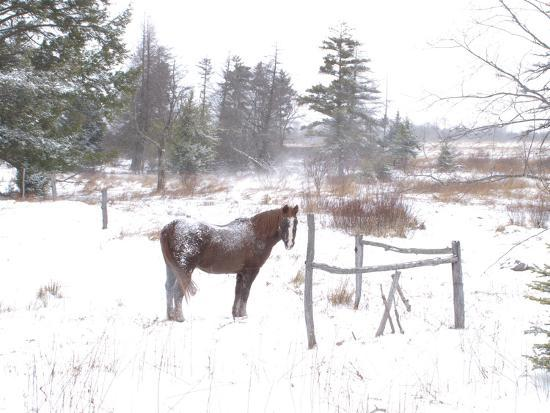 A Horse with a Dusting of Snow on His Back During a Snowstorm-Skip Brown-Photographic Print