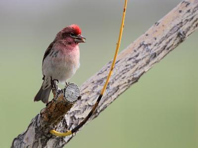 A House Finch, Carpodacus Mexicanus, Perched on a Tree Branch-Robbie George-Photographic Print