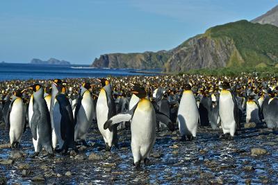 A Huge Colony of King Penguins on a Beach-Kike Calvo-Photographic Print