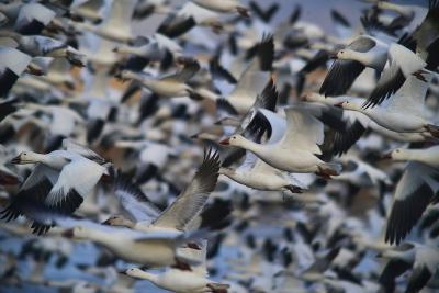 A Huge Flock of Snow Geese in Flight-Raul Touzon-Photographic Print