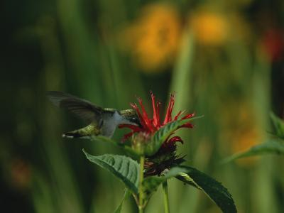 A Hummingbird at a Flower in Rock Creek Park-Taylor S^ Kennedy-Photographic Print