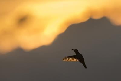 A Hummingbird Silhouetted Against a Mountain at Sunset-Jeff Mauritzen-Photographic Print