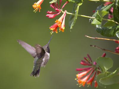 https://imgc.artprintimages.com/img/print/a-hummingbird-sipping-nectar-from-honeysuckle-flowers_u-l-pftcod0.jpg?p=0