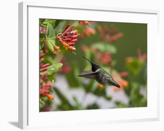 A Hummingbird Sipping Nectar from Honeysuckle Flowers-Robbie George-Framed Photographic Print