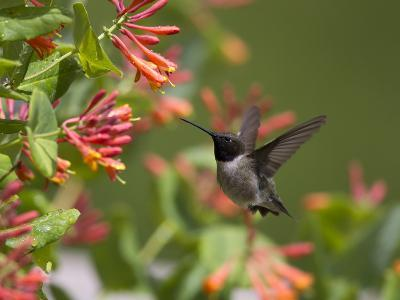 A Hummingbird Sipping Nectar from Honeysuckle Flowers-Robbie George-Photographic Print