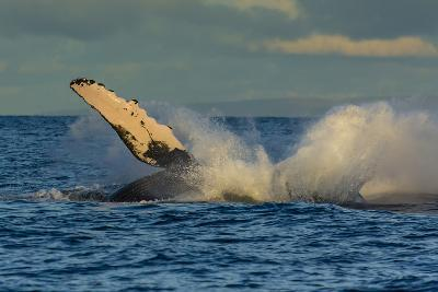 A Humpback Whale Breaches in the Pacific-Ralph Lee Hopkins-Photographic Print