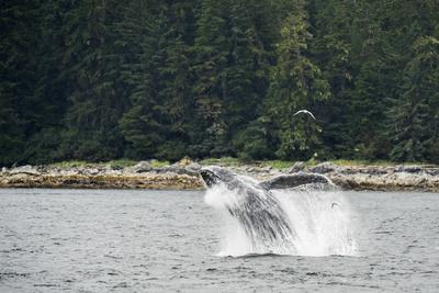 https://imgc.artprintimages.com/img/print/a-humpback-whale-breaching-in-the-waters-of-alaska-s-inside-passage_u-l-pswf2h0.jpg?p=0