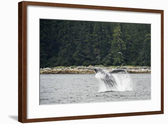 A Humpback Whale Breaching in the Waters of Alaska's Inside Passage-Jonathan Kingston-Framed Photographic Print