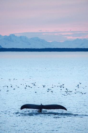 A Humpback Whale, Megaptera Novaeangliae, Diving Near a Flock of Birds at Sunset-Jonathan Kingston-Photographic Print