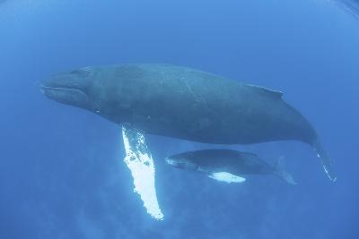 A Humpback Whale Mother and Calf in the Caribbean Sea-Stocktrek Images-Photographic Print