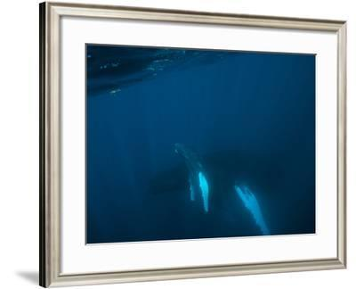 A Humpback Whale Mother and Calf-Cesare Naldi-Framed Photographic Print