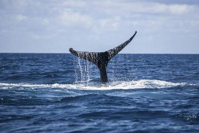 A Humpback Whale Raises its Tail as it Dives into the Atlantic Ocean-Stocktrek Images-Photographic Print