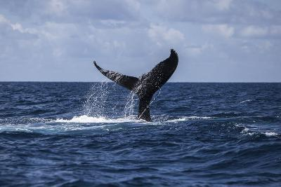 A Humpback Whale Slaps its Tail on the Surface of the Atlantic Ocean-Stocktrek Images-Photographic Print