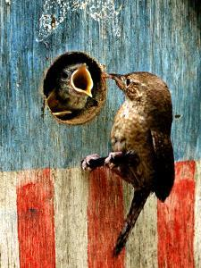 A Hungry Baby Wren Opens Wide for a Snack Wiggling