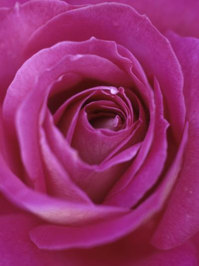 A Hybrid Tea Rose--Photographic Print