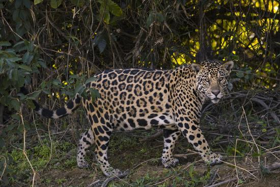 A jaguar along a riverbank in the Pantanal of Mato Grosso Sur in Brazil.-Steve Winter-Photographic Print