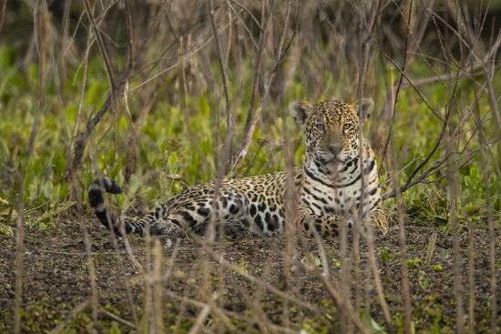 A jaguar in the Pantanal of Mato Grosso Sur in Brazil.-Steve Winter-Photographic Print