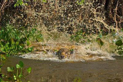 A Jaguar Leaps into Cuiaba River in the Brazilian Pantanal-Steve Winter-Photographic Print