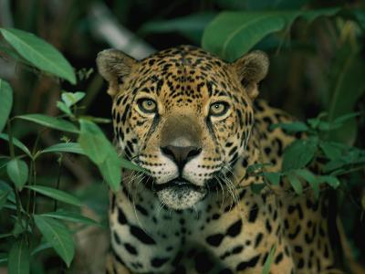A Jaguar Looks into the Camera-Steve Winter-Photographic Print