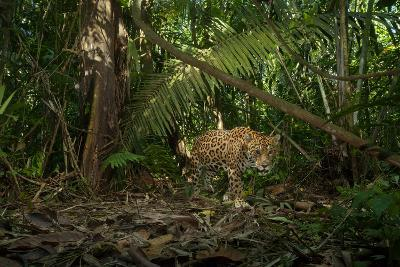 A Jaguar on the Hunt Trips a Camera Trap-Steve Winter-Photographic Print