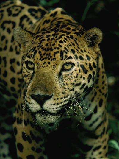 A Jaguar on the Prowl-Steve Winter-Photographic Print