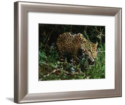 A Jaguar on the Prowl-Steve Winter-Framed Photographic Print