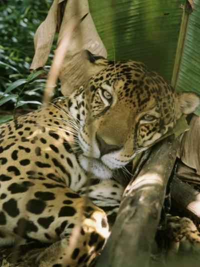 A Jaguar Rests on the Jungle Floor-Ed George-Photographic Print