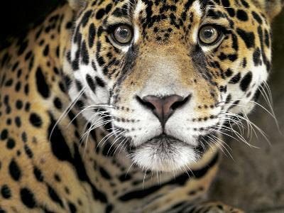A Jaguar Stares Intensely into the Camera.-Karine Aigner-Photographic Print
