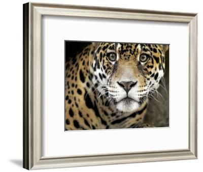 A Jaguar Stares Intensely into the Camera.-Karine Aigner-Framed Photographic Print