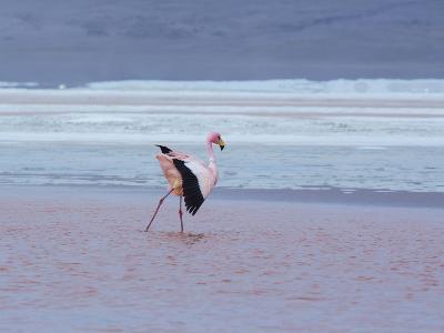 A James' Flamingos Stretches its Legs in the Laguna Colorada-Alex Saberi-Photographic Print
