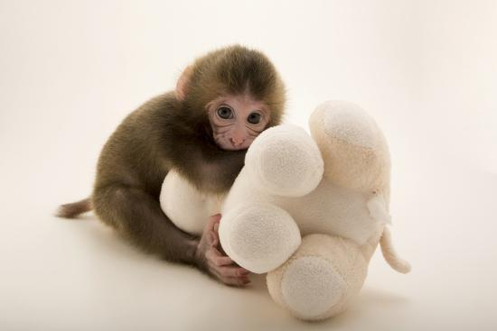 A Japanese macaque or snow monkey, Macaca fuscata, at the Blank Park Zoo   Photographic Print by Joel Sartore   Art com