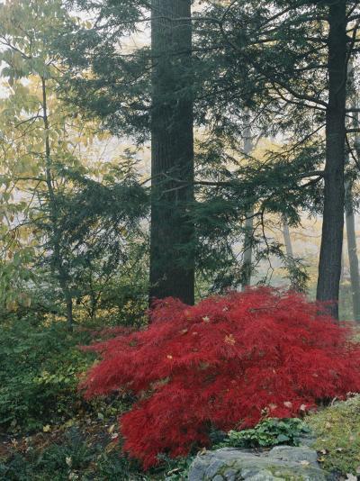 A Japanese Maple Tree-Darlyne A^ Murawski-Photographic Print