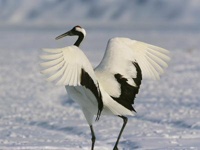 A Japanese or Red Crowned Crane Spreads its Wings in a Dance Display-Tim Laman-Photographic Print