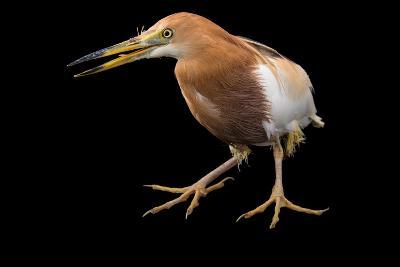 A Javan Pond Heron, Ardeola Speciosa, at Sylvan Heights Bird Park-Joel Sartore-Photographic Print